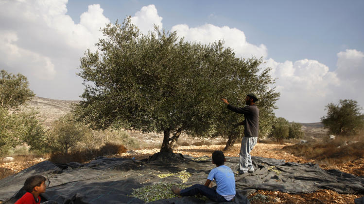 In this photograph made on Monday, Oct. 22, 2012, a Palestinian farmer Khader Khader, 31,picks olives on his land in Nisf Jubeil, near the West Bank city of Nablus, Monday, Cot 22, 2012. In an emerging back-to-the-land movement, Palestinian farmers are turning the rocky hills of the West Bank into organic olive groves, selling their oil to high-end grocers in the U.S. and Europe. (AP Photo/Majdi Mohammed).