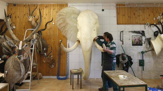 In this Tuesday, April 30,  2013 photo, taxidermists adjust a tusk of an elephant, in Radomir Franz's taxidermy shop, in Sakvice, Czech Republic, Thursday, May 2, 2013. Franz is one of central Europe's most sought-after experts in the field _ and says he has stuffed animals from every country except, perhaps, Greenland. Franz, wearing safari-like clothing and a gold chain, says demand for his work never ceases, with orders from all over the world. He spends part of the year traveling to see animals in their natural habitat so that his work is as accurate as possible. (AP Photo/Petr David Josek)