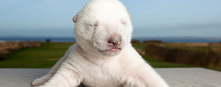 The polar bear cub Siku is seen at Skandinavisk Dyrepark in Djursland, Denmark. (AP/POLFOTO, Skandinavisk Dyrepark)