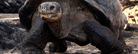 A giant land turtle walks in Galapagos National Park in Puerto Ayora on Santa Cruz Island in the Galapagos, Ecuador.  (AP)