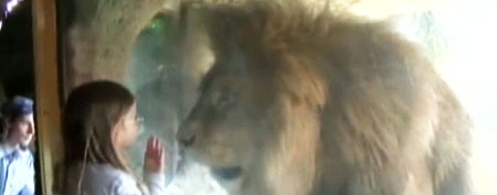 Young girl stares at African lion (Y! Sports screengrab)