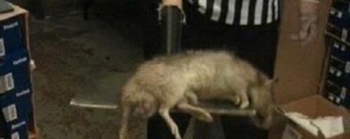 Ratas gigantes invaden Nueva York