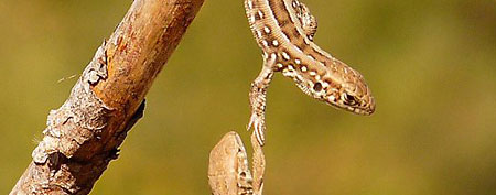 In this amazing moment, a lizard springs into action to grab his cohort by the arm and save him from falling off their perch. (Photo: Alexey Tymoshenko/Caters News)