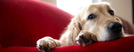 Dog on sofa. (ThinkStock)