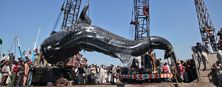 Residents gather as a whale shark is pulled from the water by cranes after it was found dead at Karachi's fish harbor February 7, 2012. A giant whale shark washed ashore near Karachi fisheries harbor on Tuesday and was sold for 1.7 million PKR ($18,758), local media reported. REUTERS/Akhtar Soomro