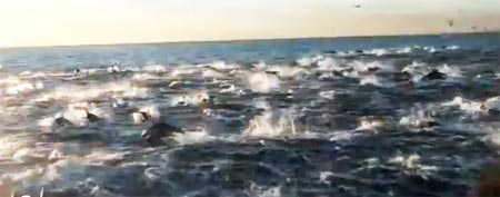 A pack of dolphins stampede off Dana Point in Southern California (Y! Sports screengrab)