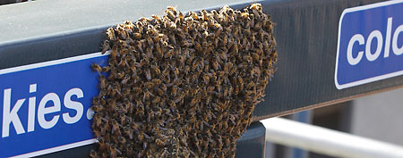 Swarm of bees at MLB game (AP photo)
