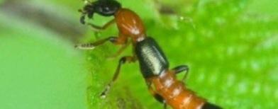 Serangga tomcat (Foto: Republika)