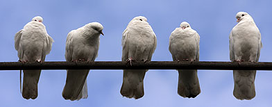 ¿Cómo se orientan las palomas?
