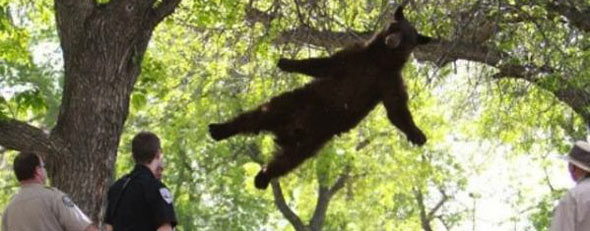 A young bear is seen falling from a tree after being tranquilized (Photo credit: CU Independent)