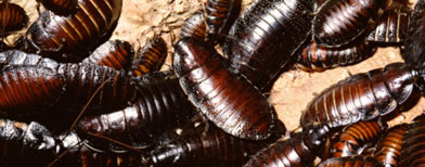 Cockroaches in captivity. Thinkstock photo