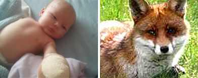 Fox attack baby 'recovering well'