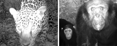 Jungle cameras capture rare beasts