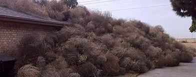House in Texas engulfed by tumbleweeds