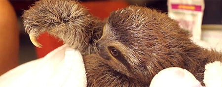 What this baby sloth does will warm your heart