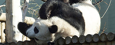 Hopes still pinned on panda mating