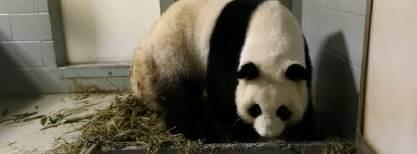 Aww, adorable panda gives birth to twins!