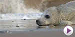 Baby seals orphaned in storm surge