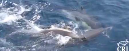 Rare sight: Dolphins help one of their own
