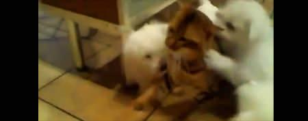 Cute puppies pounce on patient kitty