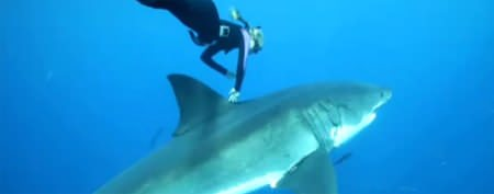 Diver swims with great white sharks