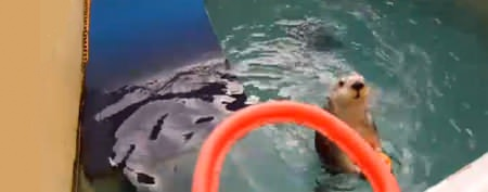 Sea otter's awesome basketball move