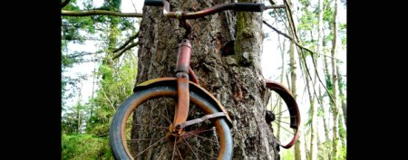 Missing bicycle swallowed by tree