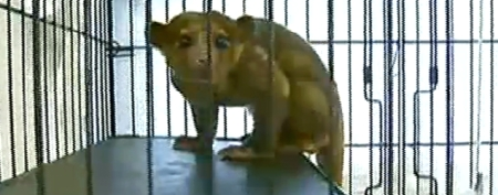 Cantankerous kinkajou captured in Texas