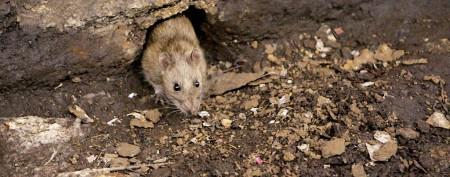 New York City's rat mystery still unsolved