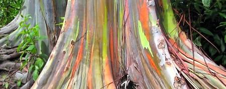 Vibrant colors of rainbow gum trees