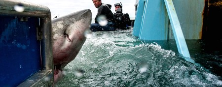 Scientists tag 2,000-pound great white shark