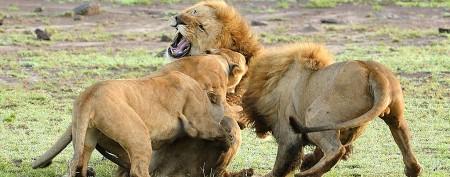 Rogue lions terrorize African resort