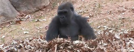 Gorilla goes bananas in piles of leaves