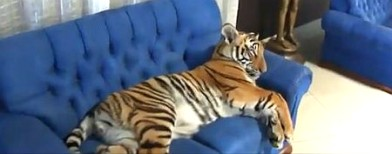 What is a tiger doing in the living room?