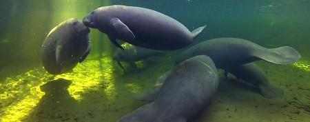 Deadly algae threatening Florida manatees