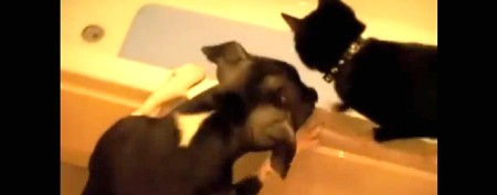 Dog's playful trick on unsuspecting cat