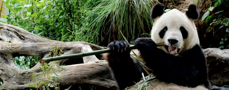 Giant pandas set to invade Toronto