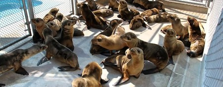 Sea lion pups starving in alarming numbers