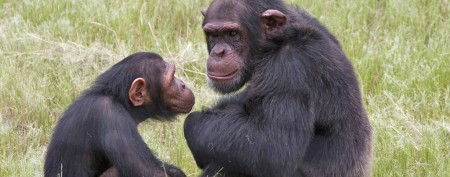 Great apes face frightening, dire outlook