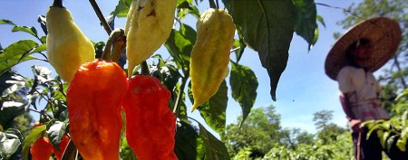 'Evil geniuses' behind world's hottest peppers