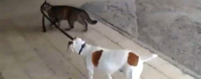 Cat takes dog for a walk