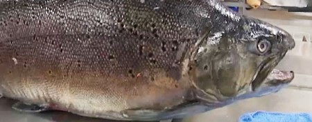 Enormous trout looked 'like a submarine'