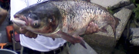Dreaded Asian carp may be in Great Lakes