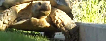 Family's huge tortoise has accidental adventure