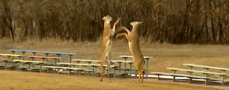Rare video shows deer fighting on hind legs