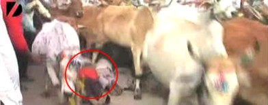 Bizarre Indian fest:People trampled by cows