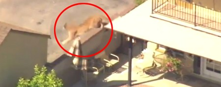 120-pound beast spotted in Calif. neighborhood