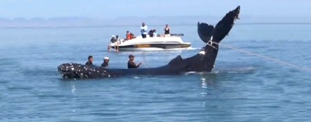 Dramatic rescue of stranded whale
