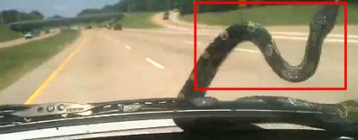 Video: Snake hitches ride on a car