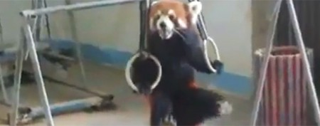 Red panda shows off athletic strength